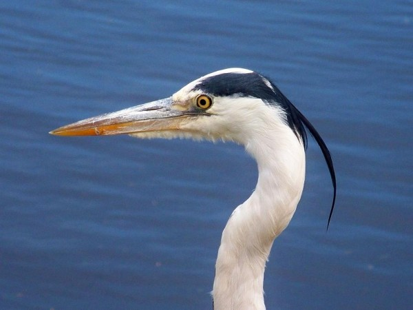 grey heron looking sharp