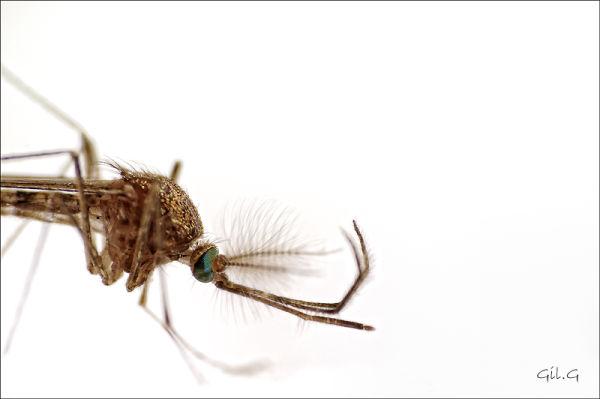Mosquito 's eye