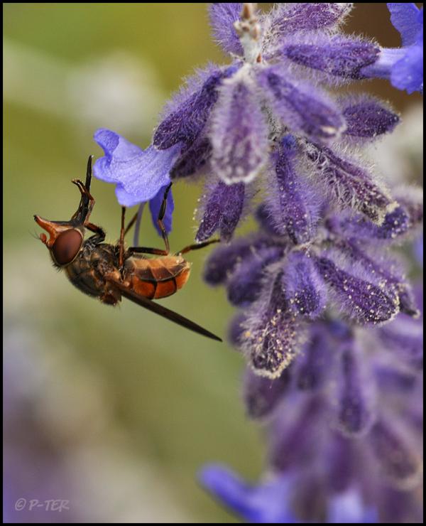 Hoverfly - Rhingia campestris snuitvlieg vlieg