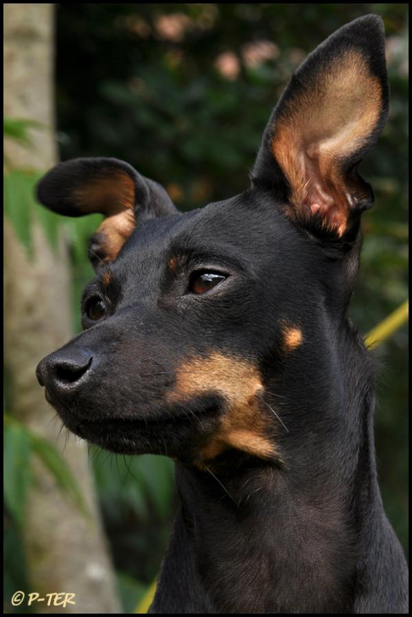 dog hond rune dwergpincher