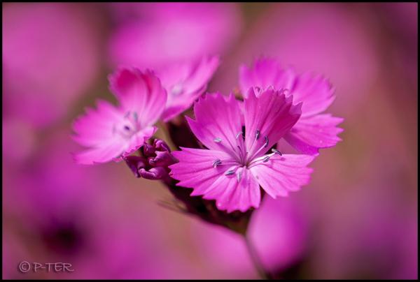 Dianthus Cartjusianum