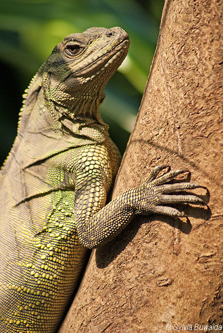 Lizard - Burgers Zoo, Arnhem