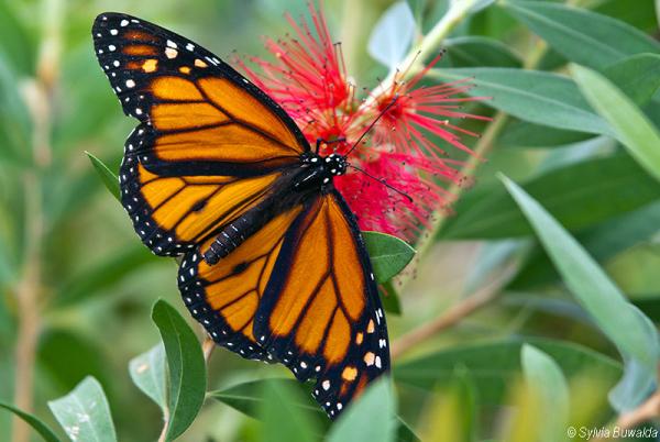 Monarch butterfly - Orchideeënhoeve, Luttelgeest