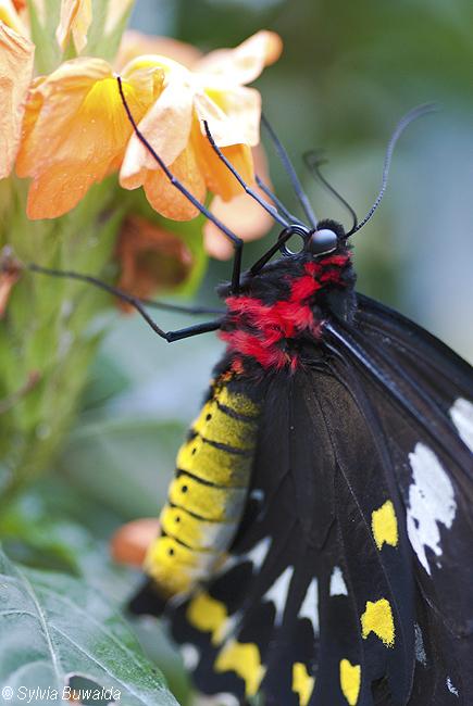 Cairns Birdwing - Orchideeënhoeve, Luttelgeest