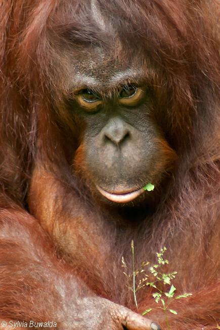 Orangutan - Apenheul, Apeldoorn