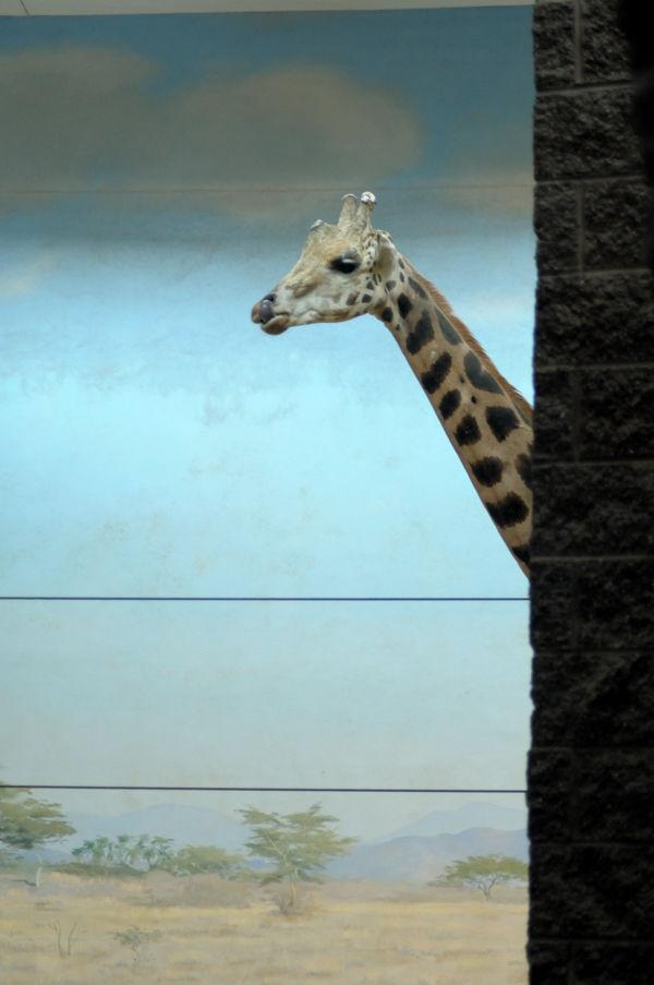 Giraffe at the Bronx Zoo