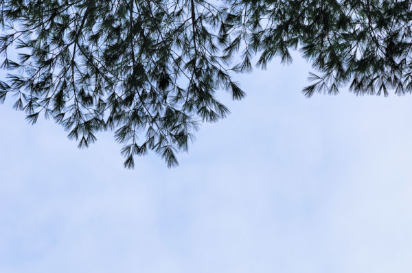 Evergreens against the blue sky.