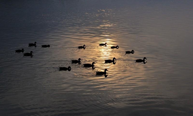 Duck Hour