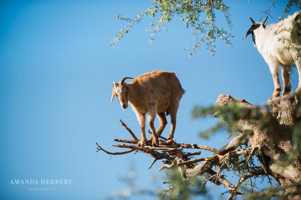 Morocco | Goats