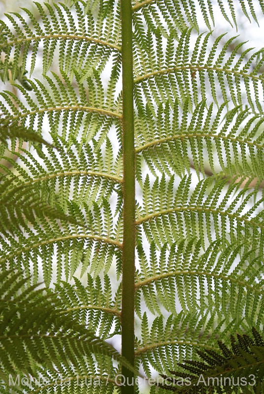 Fern from Palace and Garden of Pena, Sintra