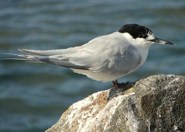 Adult tern