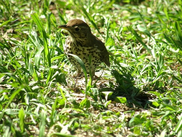 the thrush and his shadow