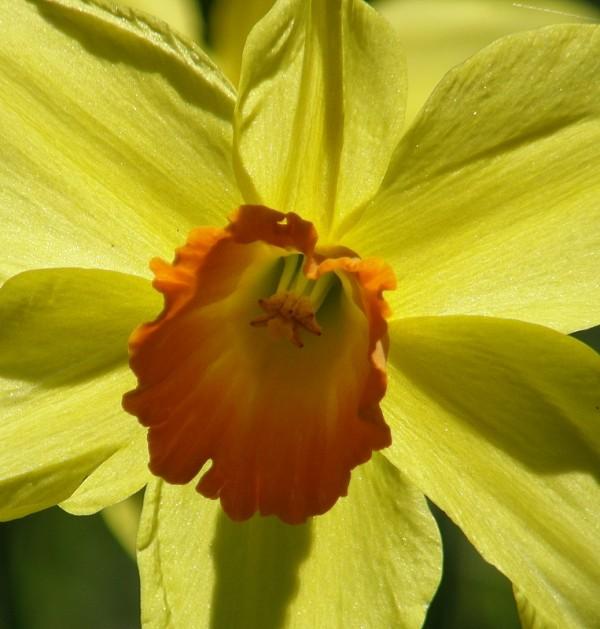 sunny daffodil I