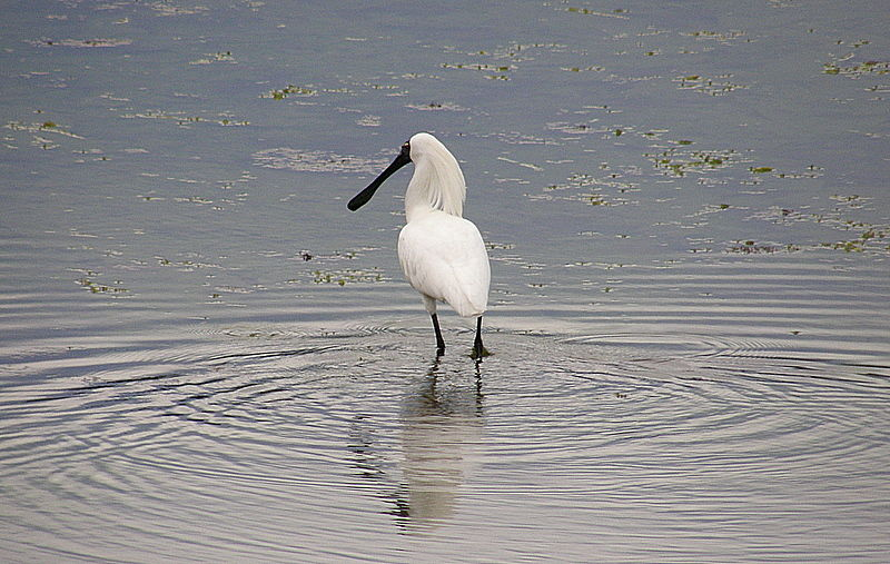 single spoonbill