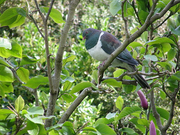 Wood Pigeon no 3