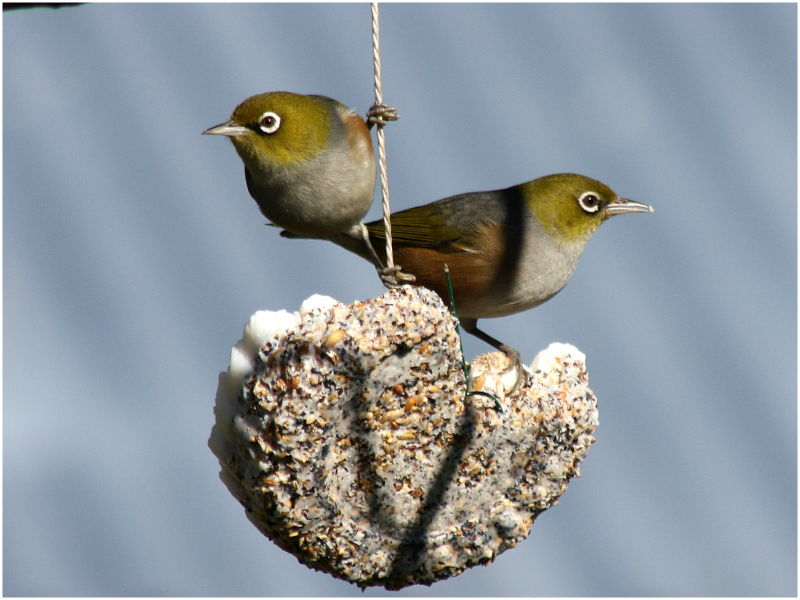 waxeye week IV