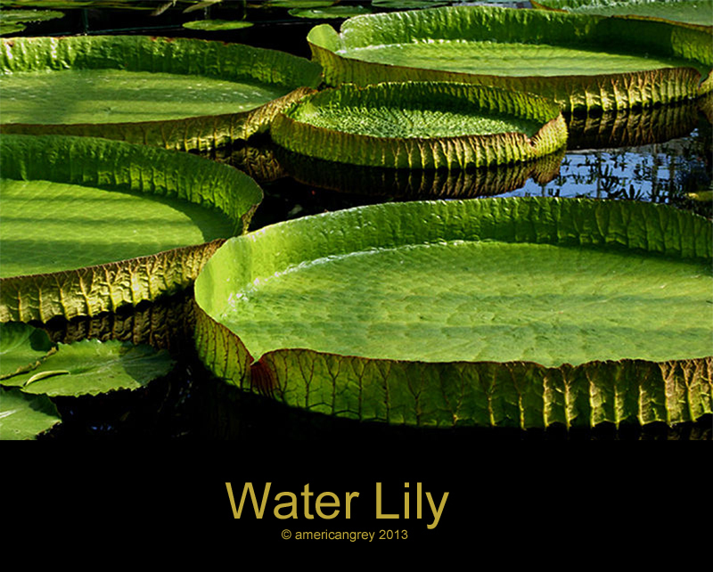 Water Lily Pool
