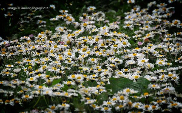 A Carpet of Daisies . .