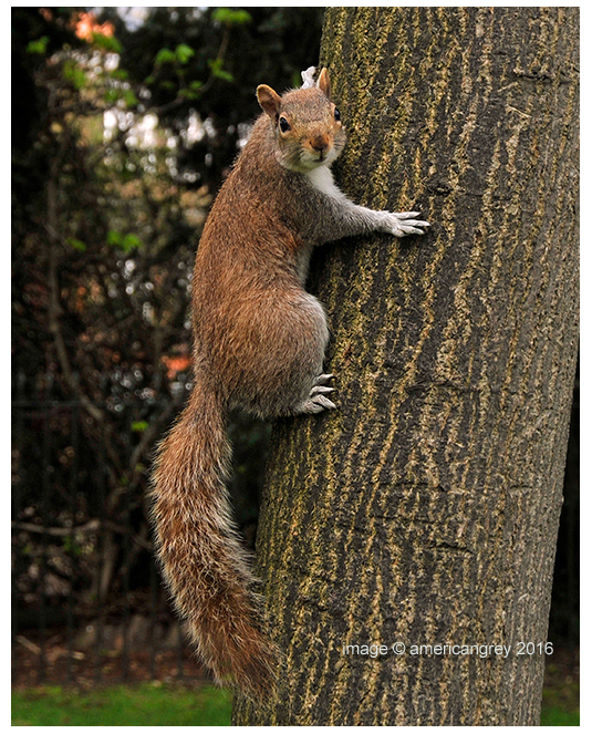 """Red"" Squirrel ?  1/2"