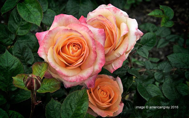 """Rose """"Britannia"""""""
