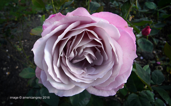 Lingering Rose 2