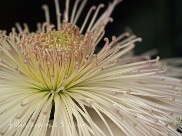 spider chrysanthemum