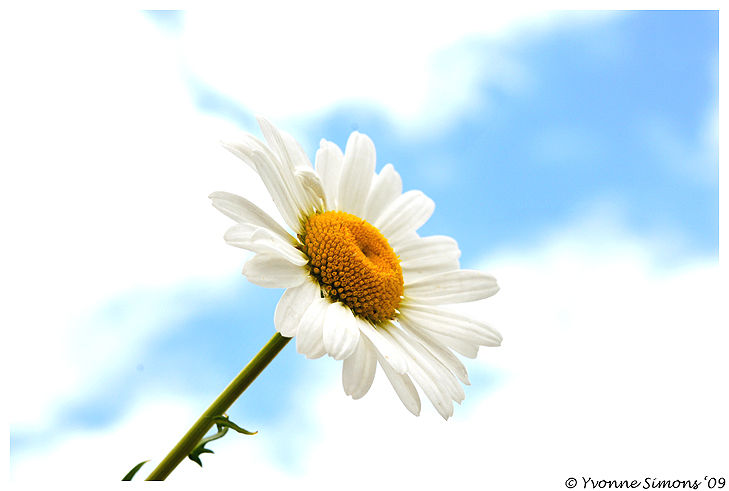 Daisy in the sky