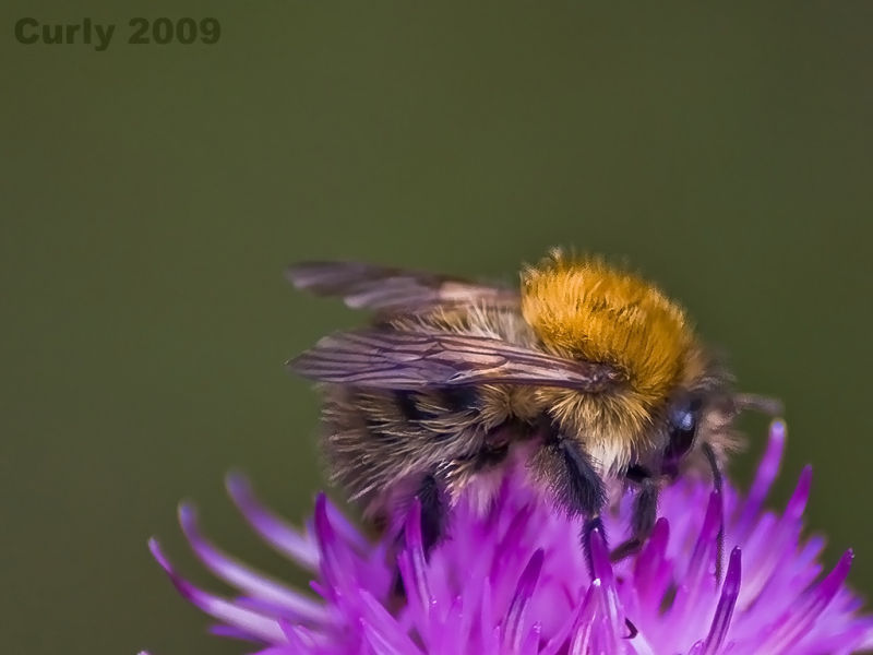 Honey bee on thistle South Shields