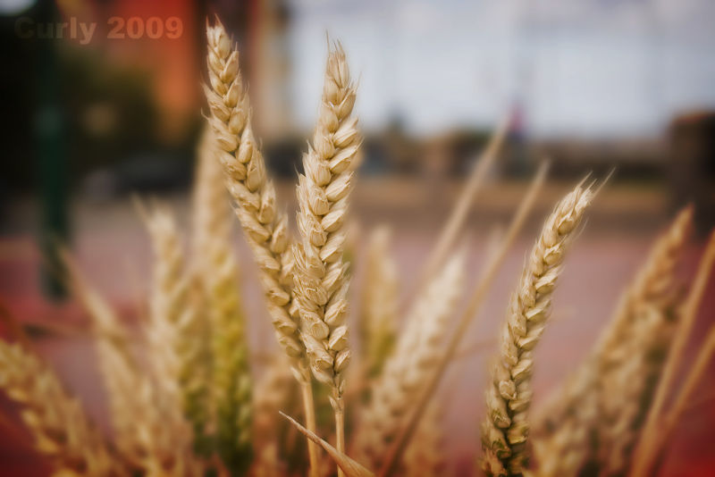 Wheat growinf in Mowbray Road, South Shields