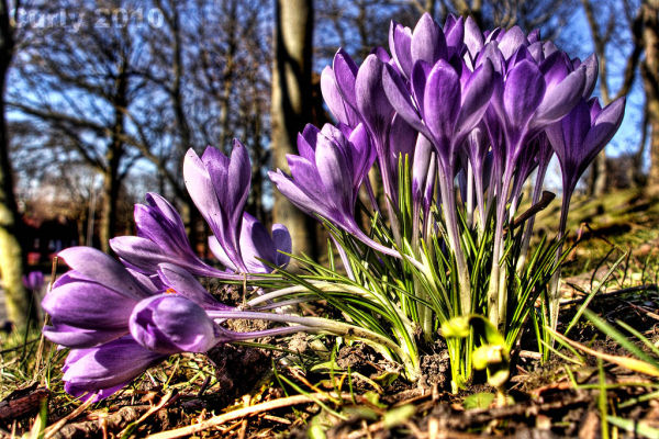 Crocus - worm's eye view