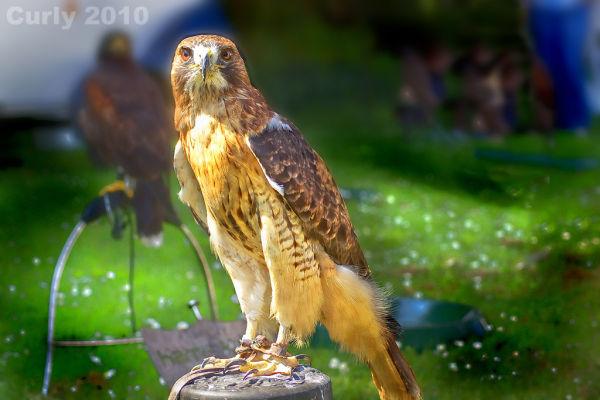 Hawk, Medieval Fayre Jarrow