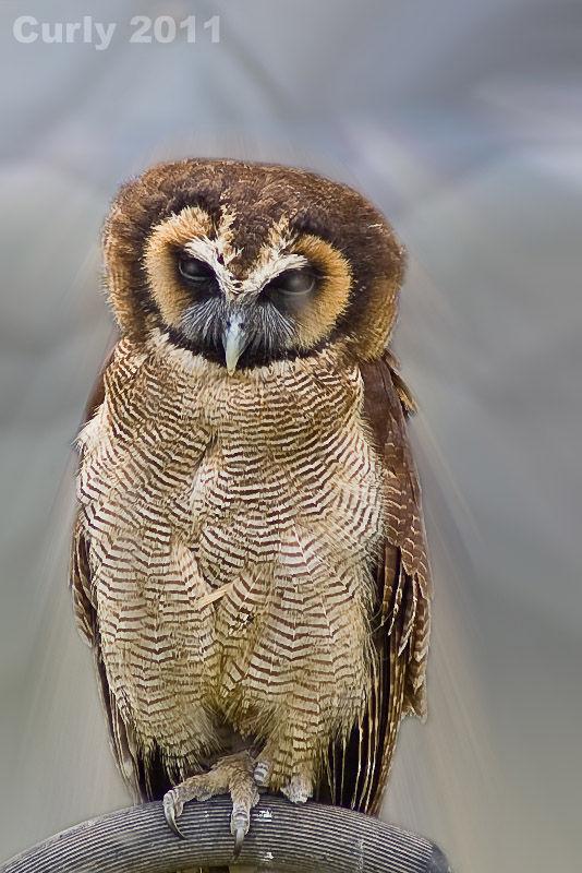 Eagle Owl Medieval fayre Jarrow