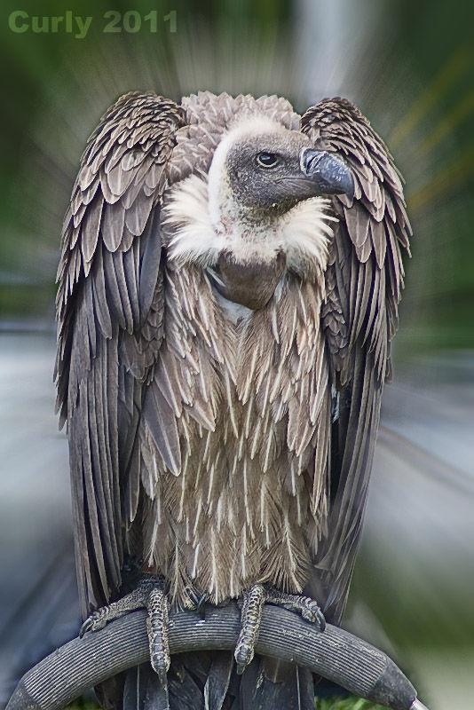 Vulture Medieval Fayre Jarrow 2011