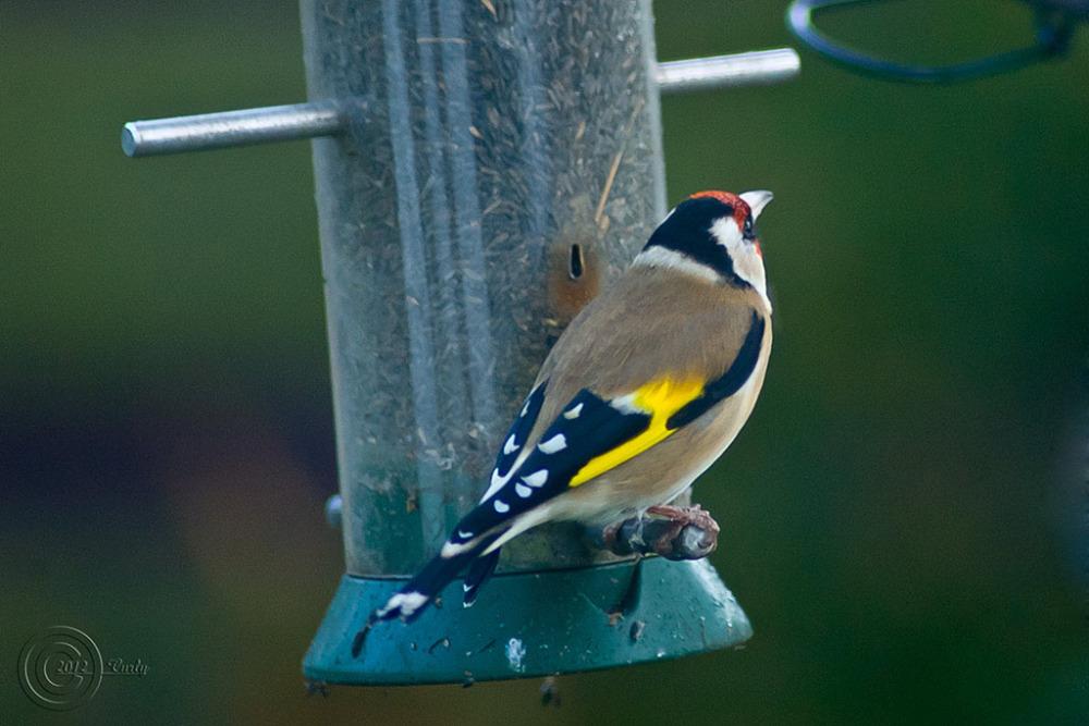 Bird at feeder, South Shields