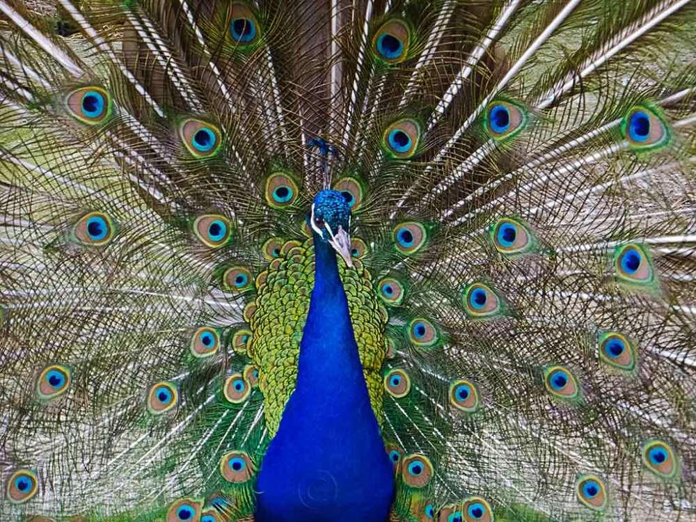 Peacock, Saltwell Park, Gateshead