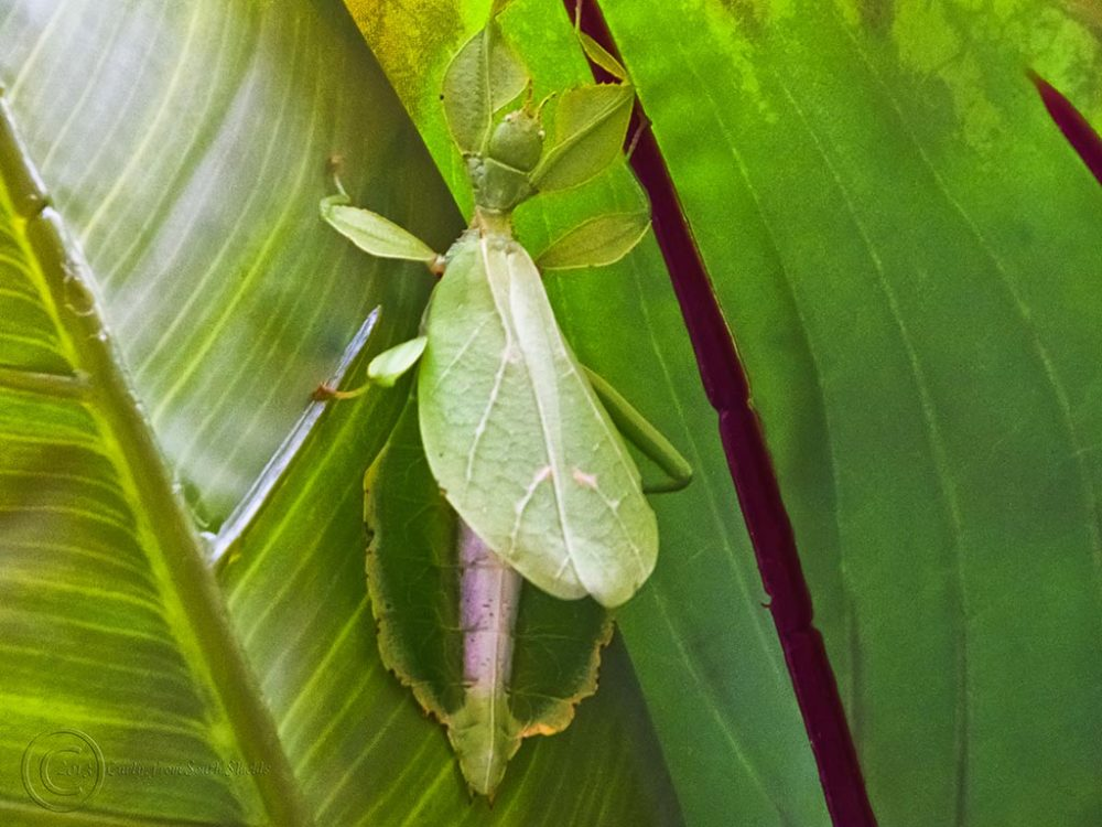 Camouflaged green insect