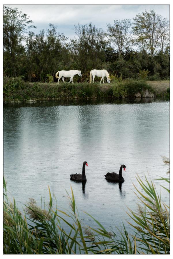 swans horses lake
