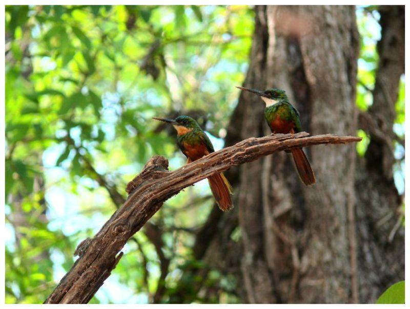 Colibris in Abdia dos Dourados (BRAZIL)