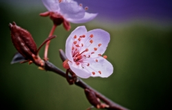 Prunus dream