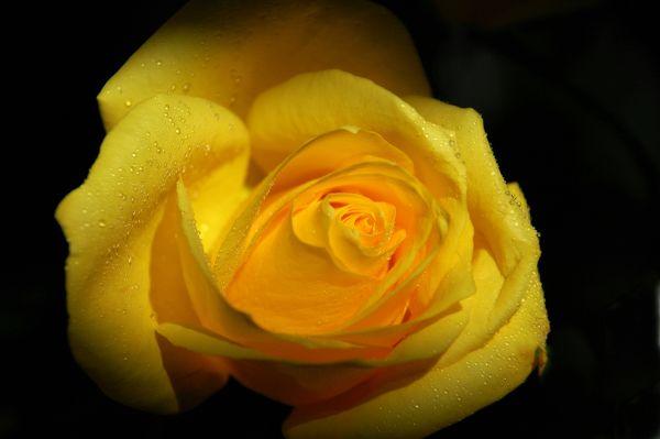 Yellow Rose 1