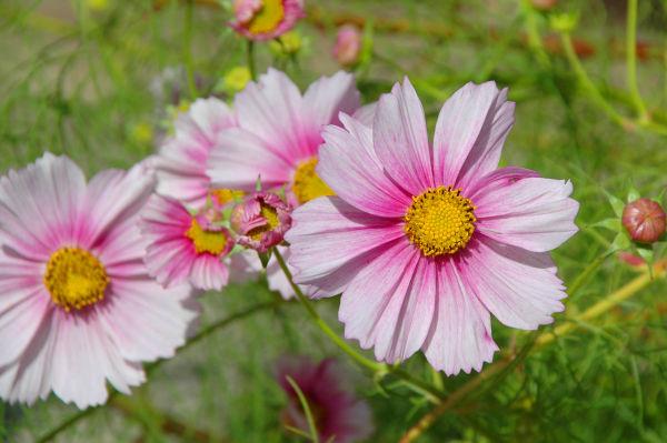 type of daisy???