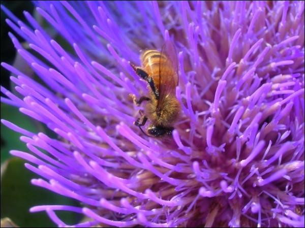 Artichoke flower interests this honeybee