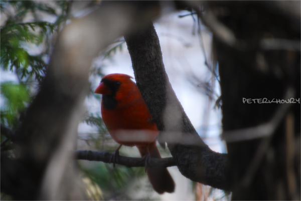the elusive cardinal