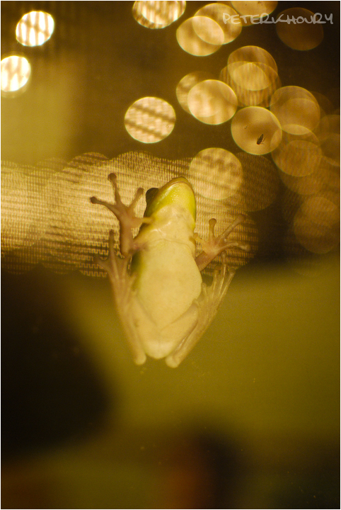 Disco Frog