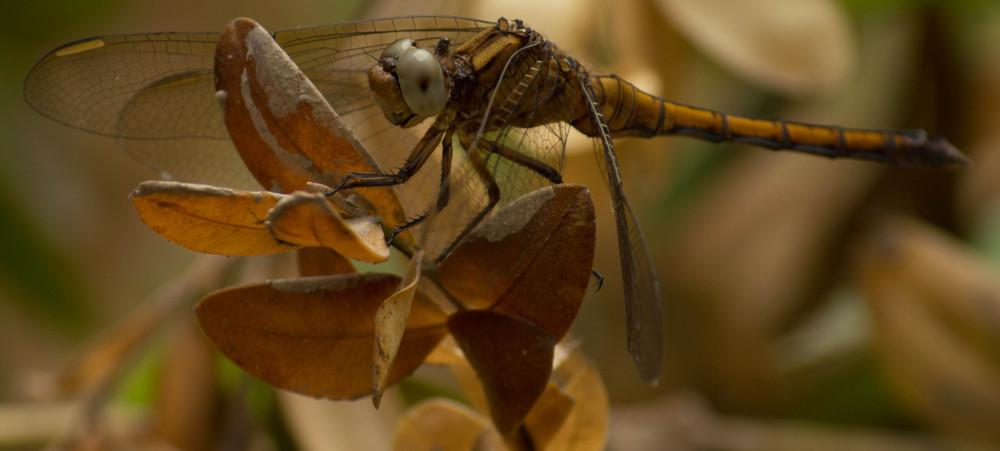 Dragonfly سنجاقک - بلبله !