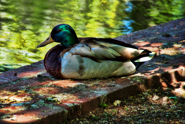 A duck by the water