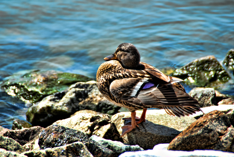 A duck on the rocks