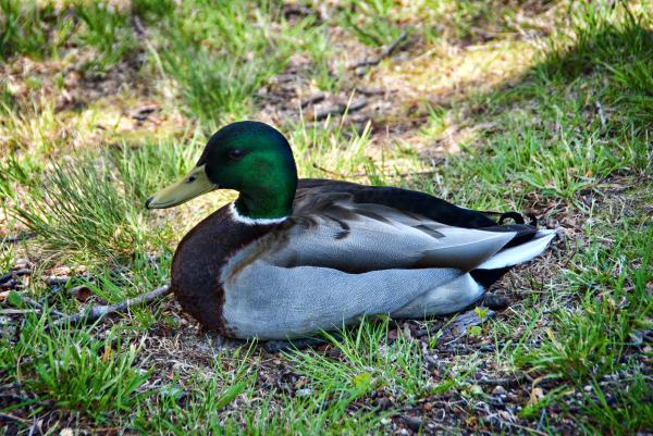 a duck on grass