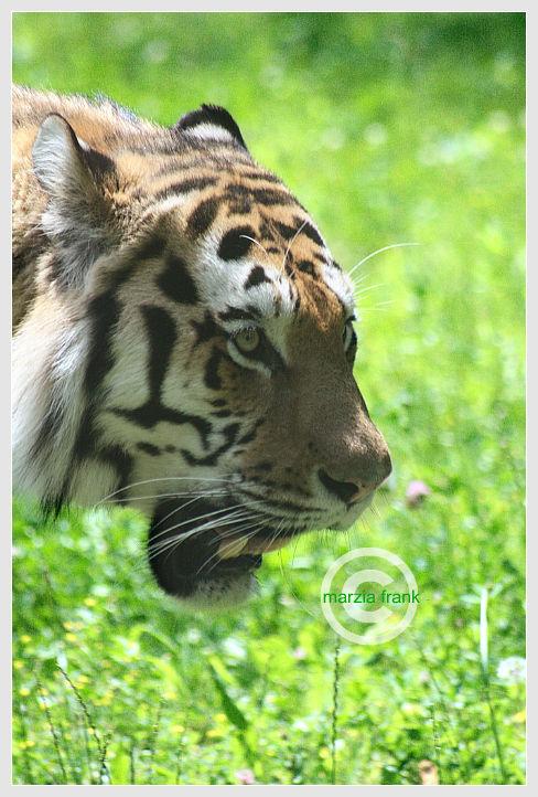(437) Tiger