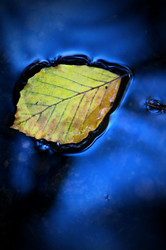 Leaf In River Bollin